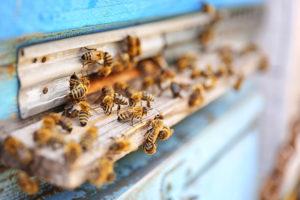 Kann RFID dabei helfen, das Bienensterben zu beenden